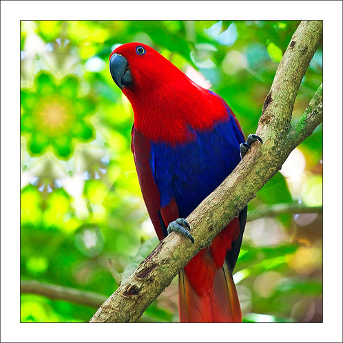 fp250. EclectusParrot (red female)