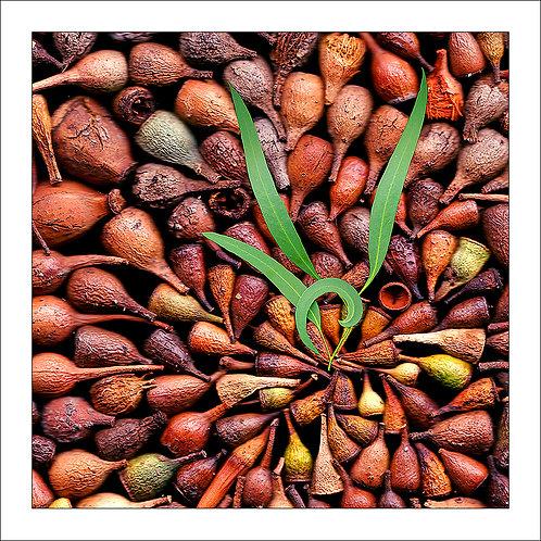 fp140. Gumnuts