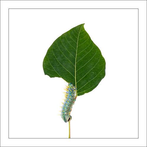 fp271. Hercules Catterpillar
