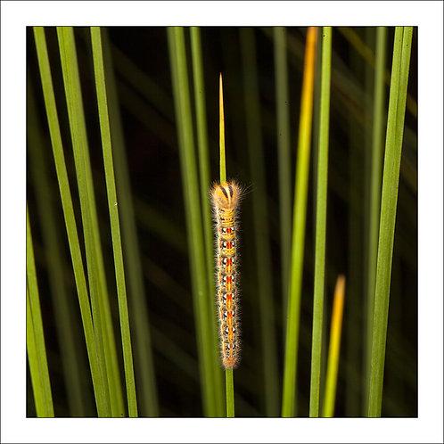 fp280. Catterpillar grass