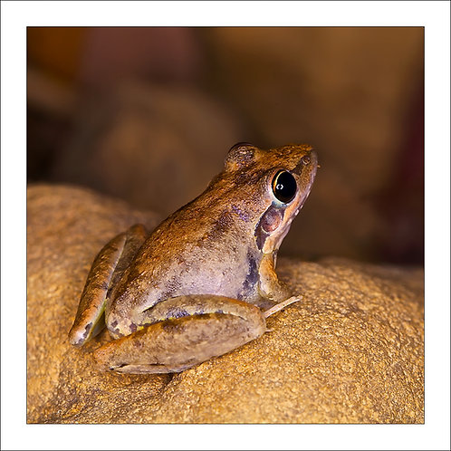 fp127. Hanushes Frog