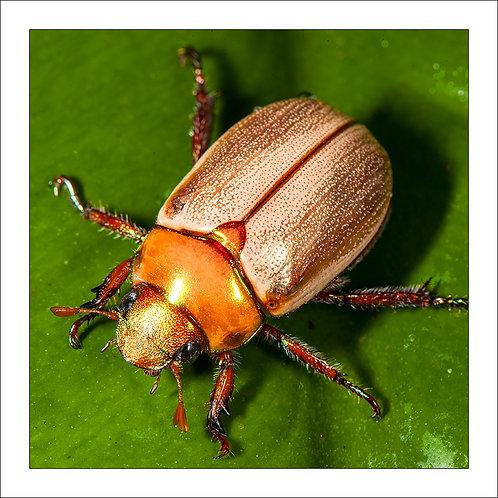 fp144. Christmas beetle