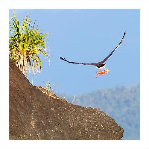fp240. Snapper Island Eagle