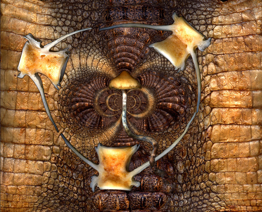 This image is created using afreshwater crocodile skin, fish bones (salmon) found on browns beach (Yorke Peninsula, South Australia and a single mushroom which represents self. By peeling away the skin and bones the pure spirit is revealed. This picture is about being honest to yourself and others, integrity. balance and the organic impermanent nature of existence. based on the Illusion of self and ego,