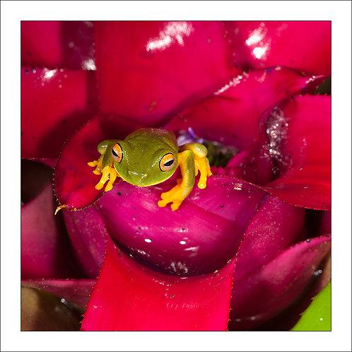 fp304. Greenfrog Bromeliad (pink)