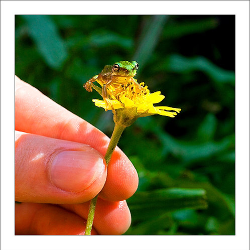 fp123. Daisy Frog