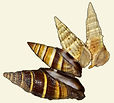 nf399a_seashell_chorus_sm_cl.jpg