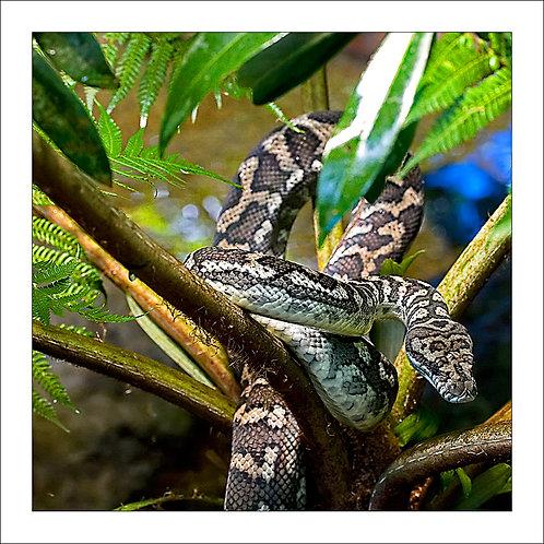 fp174. Jungle Python