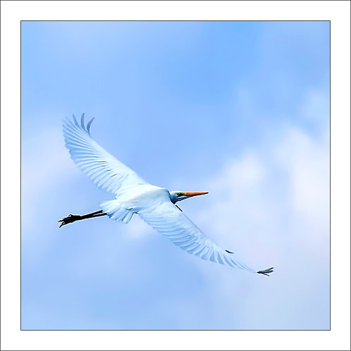 fp282. Great Egret (flying)