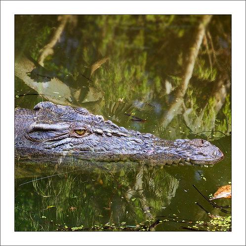 fp229. Waiting Crocodile