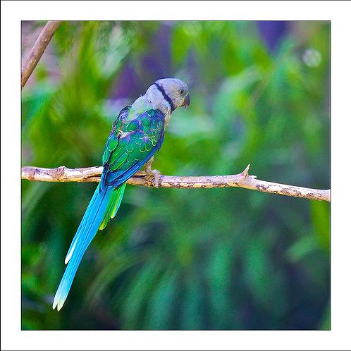 fp36. Blue Green Bird