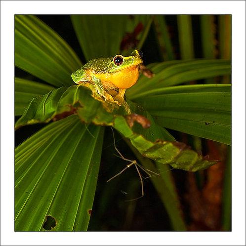 fp116. Fanpalm Treefrog