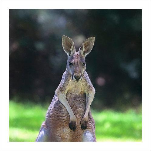 fp287. Kangaroo (alpha male)