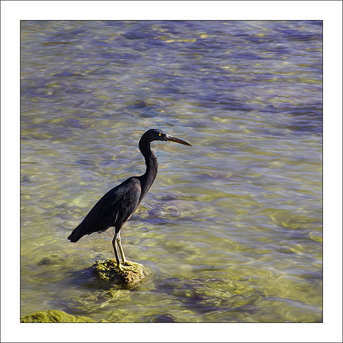 fp288. Reef Egret