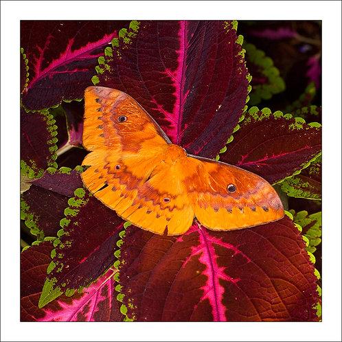 fp218. Mothadelic Leaf