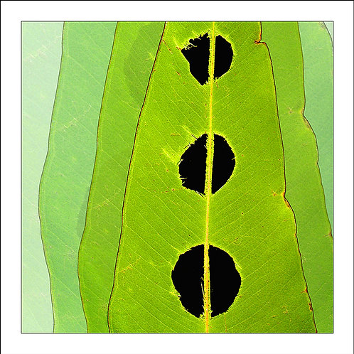 fp142. Holy Leaf