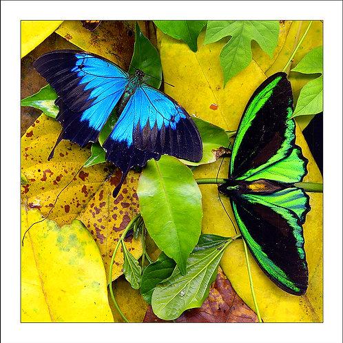 fp165. Butterflies Surprise