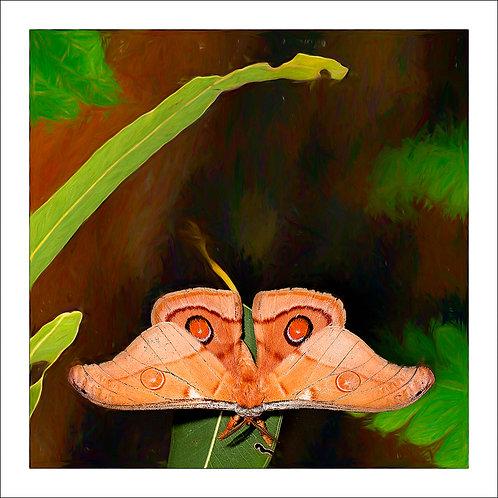 fp321. Emperor Gum Moth