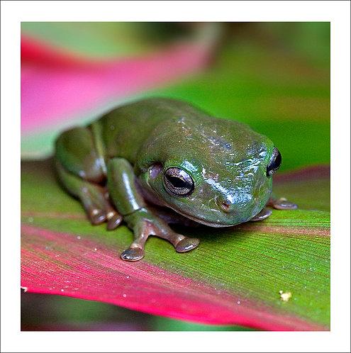 fp66. Greenfrog