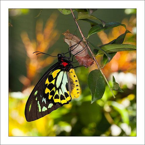 fp270. birdwing Butterfly (emmerging)