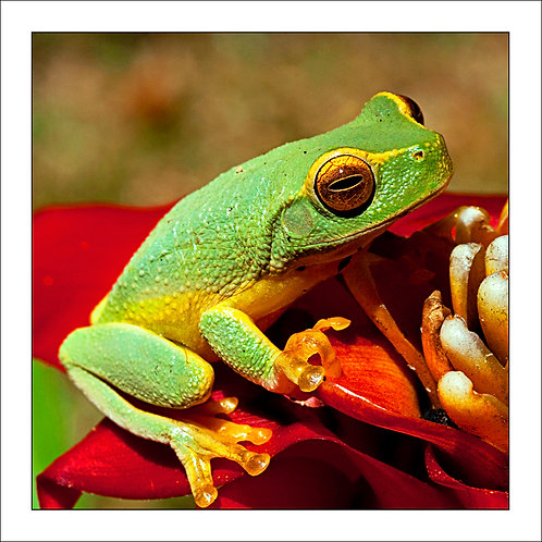 fp49. Bromeliad Frog