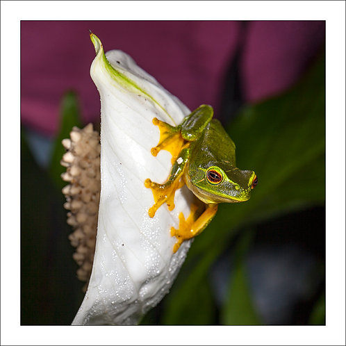 graceful green treefrog perched on a white lilly with magenta and green background