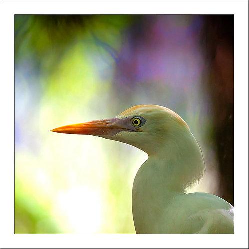 fp278. Egret (portrait)