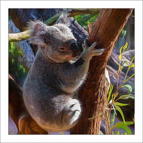 fp143. Koala