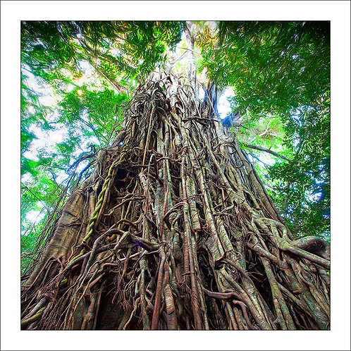fp163. Cathedral Fig Tree