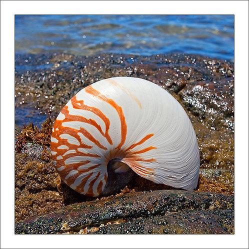fp63. Nautilus Shell