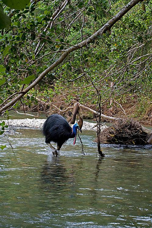 Cassowary creek