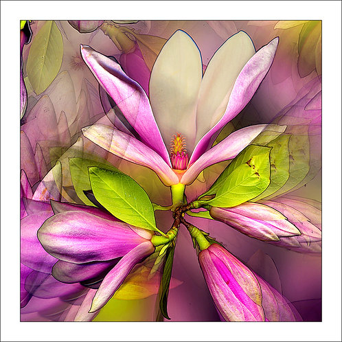 fp58. Magnolia Bloom
