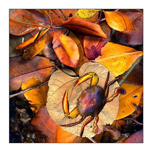 fp10. Mangrove Mudcrab
