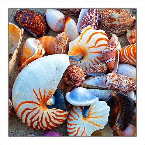 fp258. Tropical Seashells (found on beach)