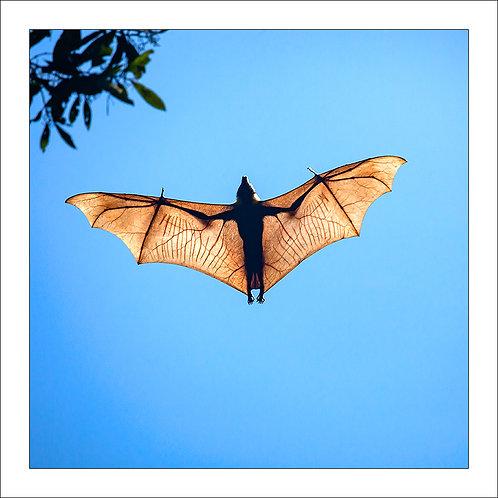 fp219. Flying fox