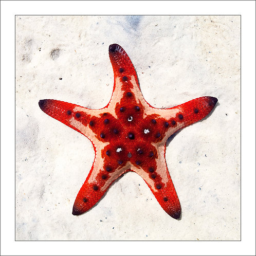 fp259. Red Starfish