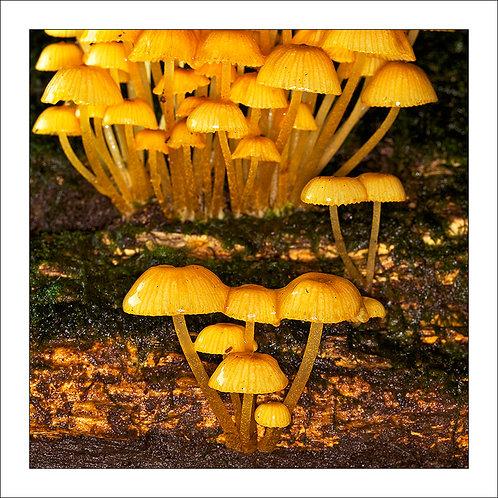 fp92. Golden Funghi