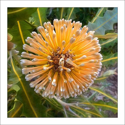 fp25. Banksia Flower