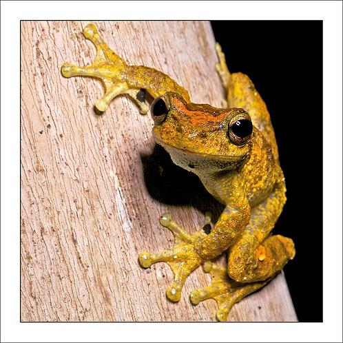 fp114. Green Eyed Treefrog (Litoria serrata)