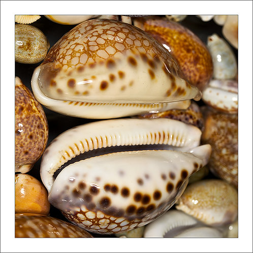fp175. Smiling Cowrie Shells