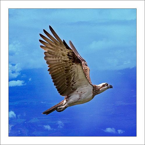 fp186. Osprey (sea eagle)