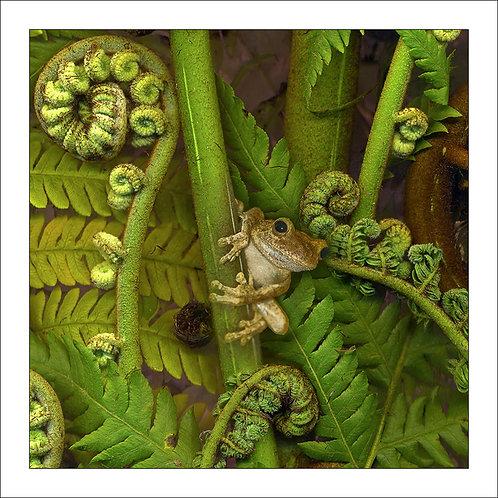 fp225. Green Eyed Treefrog (treefern)