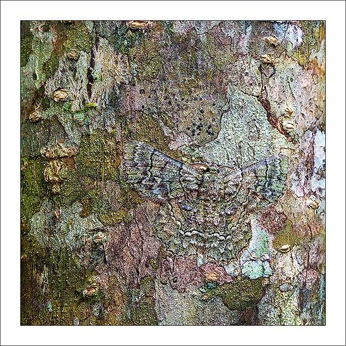 fp251. Lichen Moth