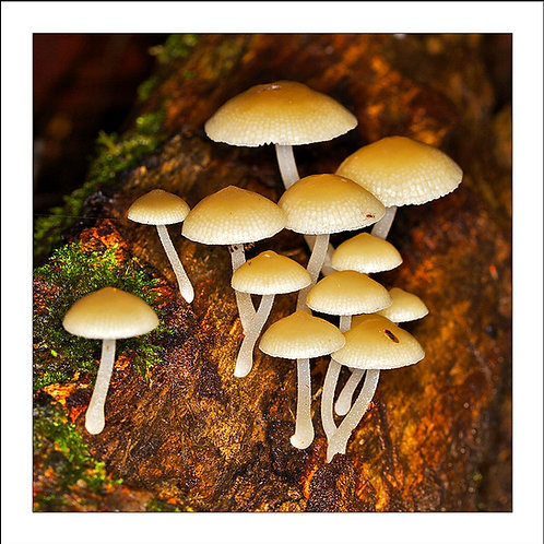 fp111. Mushrooms