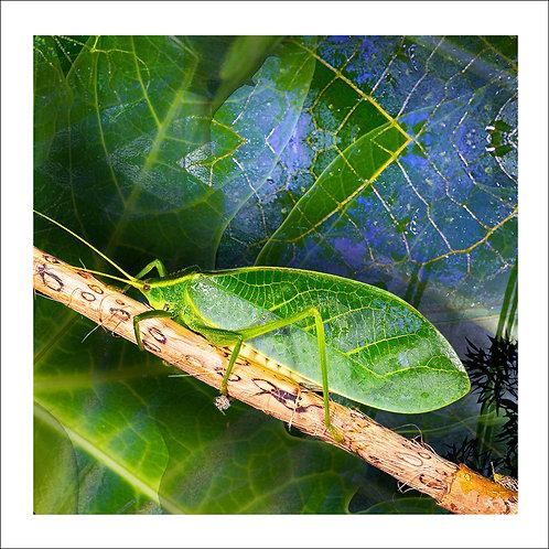 fp192. Katydid Greendala