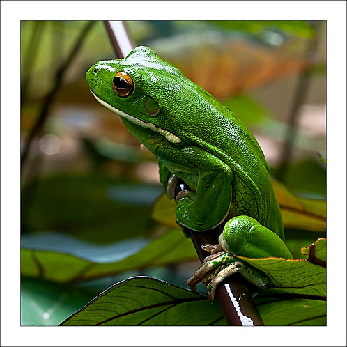 fp121. Whitelipped Treefrog