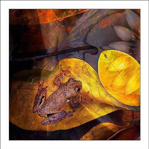 fp132. Roths Treefrog