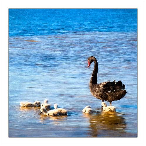 fp302. Black Swan (cygnets)