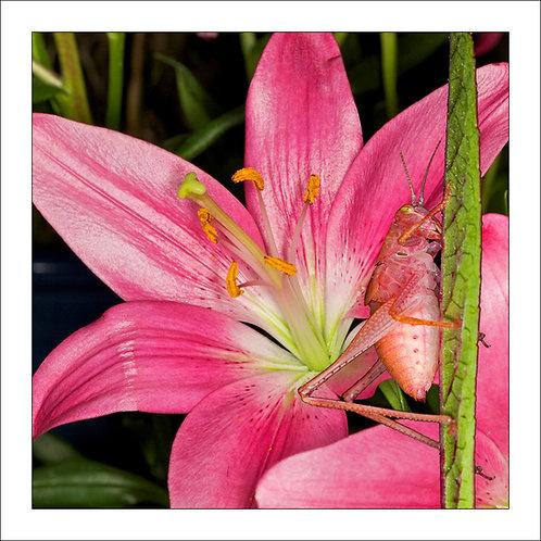 fp205. Pink