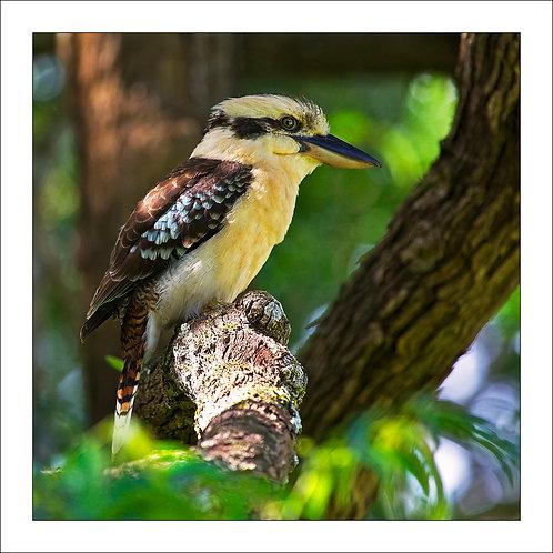 fp169. Kookaburra Branch